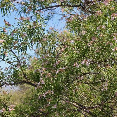 "Tree of the Month: Desert ""Willow"""