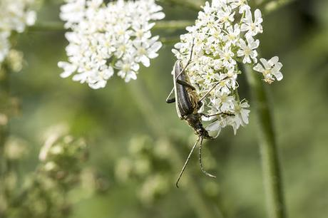 Another view of the Variable Longhorn Beetle