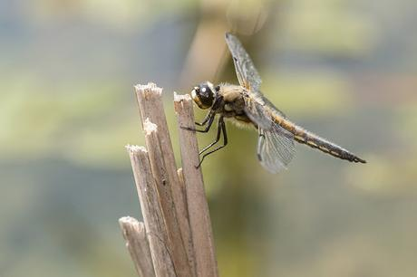 Closer capture of Four Spotted Chaser (they liked this perch)