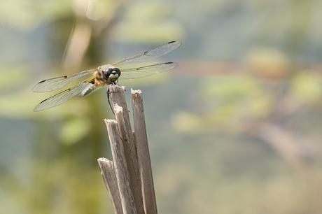 Four Spotted Chaser head on