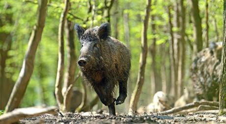 Where to Shoot a Hog With a Bow