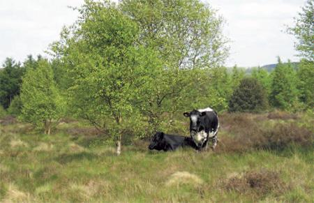 More moo cows and fences coming to Cannock Chase?