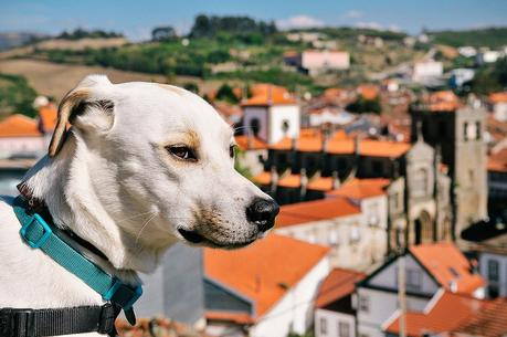 Ice the Tourist Dog in Lamego
