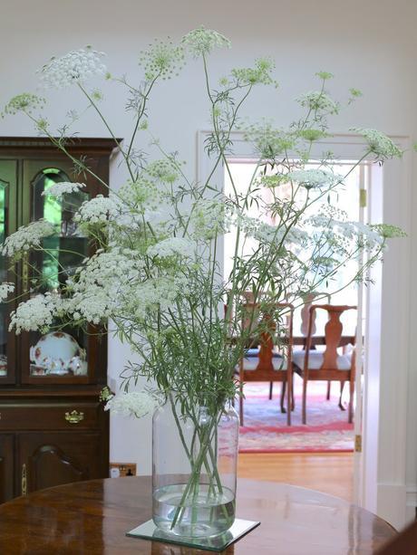 Monday Flowers – Magnificant Ammi Majus