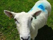 Sheep, Lambs Sheep Coloured