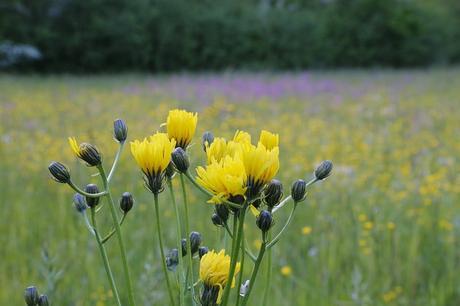 flower-wild-flower-meadow-biodiversity