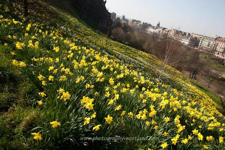 Picture - daffodils on spring