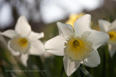 Photo - daffodils in spring