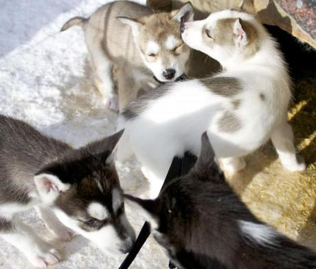 dog sledding iso syote_husky puppies