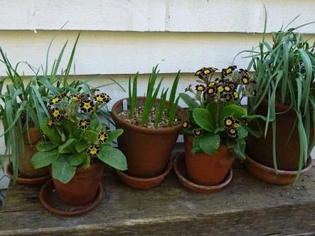 red and gold primula and floppy leaved tulips in pots on a bench