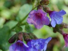 Plant Week: Pulmonaria Officinalis 'Bowles' Blue'
