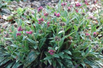 Pulmonaria 'Raspberry Splash' (11/03/2012, Kew, London)