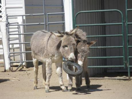 Donkeys at play: image via donkeyrescue.donordrive.com