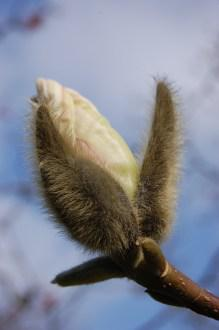 Magnolia denudata flower bud (11/03/22012, Kew, London)