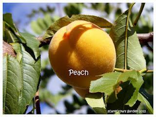 Late Season Peaches...yum!!!