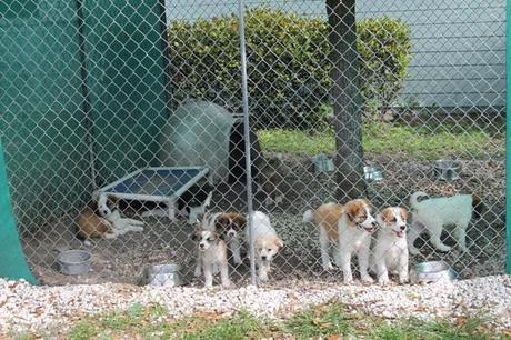 St. Bernard Puppies, adopt, big dog ranch rescue