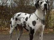 Featured Animal: Great Dane