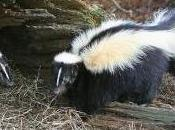 Featured Animal: Skunk