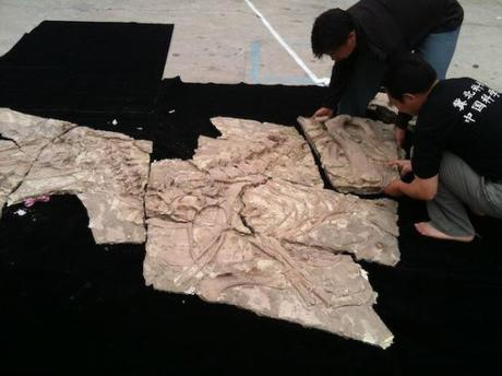 Fossil puzzle of what was to be named the Yutyrannus: image via blogs.discovermagazine.com/