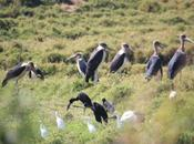 DAILY PHOTO: Meeting Marabou: with Ibis Egrets