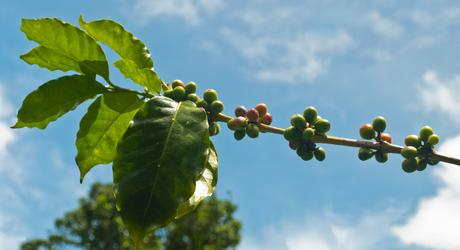 On the Trail of the Perfect Brew: Coffee