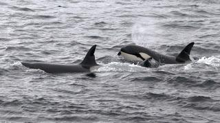 Your chance to whale-watch in Scotland!