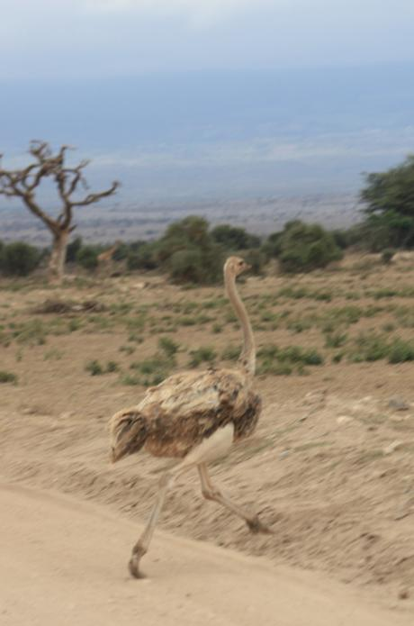 DAILY PHOTO: Ostriches of Amboseli