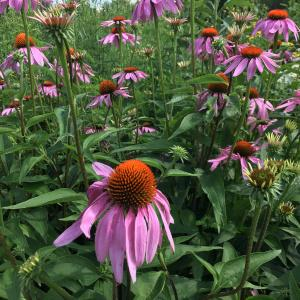 Coneflowers in bloom