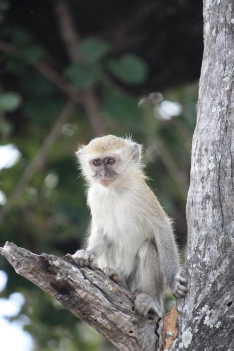 DAILY PHOTO: Baby Vervet Monkey