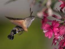 Best Summer Ever Hummingbird Hawk-moths?
