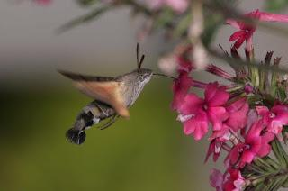 Best summer ever for Hummingbird Hawk-moths?