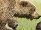 Delisting Grizzly Bears Premature Extinction Chronicles