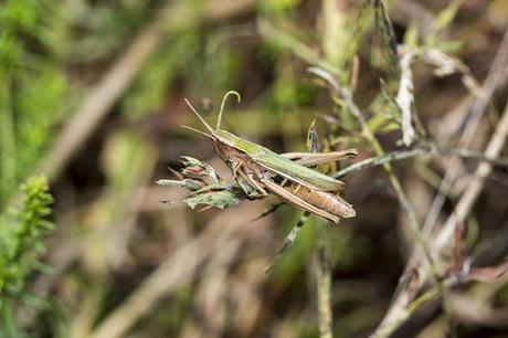Meadow Grasshopper 2 (?)