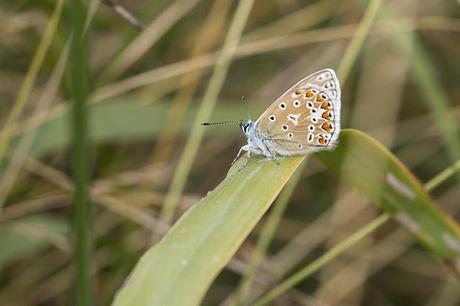 Common Blue at Tattenhoe Park