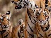 World's Last Remaining Tigers Live Under Severe Threat Extinction