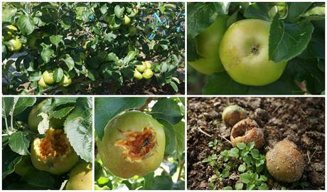 Echlinville apples - www.growourown.blogspot.com ~ an ecotherapy blog