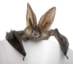 Gray-Long-Eared-Bat-White-Background.jpg.838x0_q80