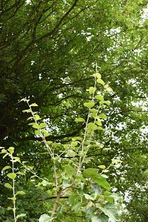 Tree following August 2017 - Phantasmagoria