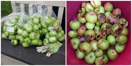 allotment apple harvest  - www.growourown.blogspot.com