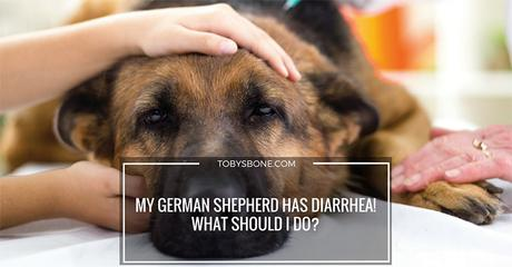 Help! My German Shepherd Has Diarrhea! What Should I Do?