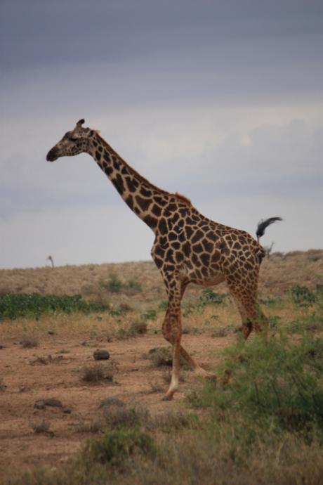 DAILY PHOTO: Masai Giraffe