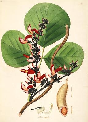 Tree of the Month: the Poison Nut Tree