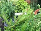 Plant Review Hopes Groves Nurseries Hedging