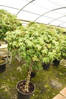 Pelagoniums, ivies and ferns: it must be Fibrex Nurseries