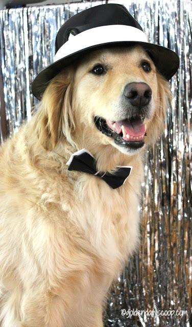 Golden Retriever dog dressed up for Chewy Fashion Week