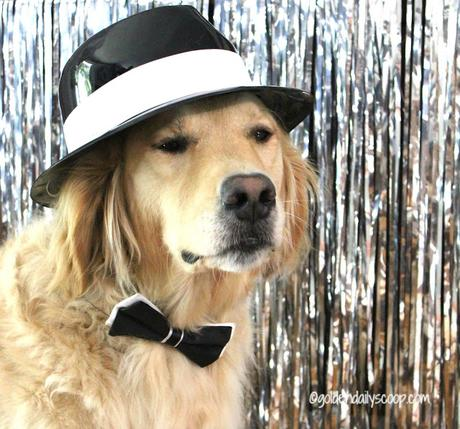 golden retriever dog dressed up in black and white fedora for fashion week