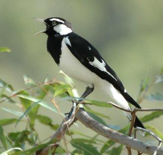 A Letter to the Magpies