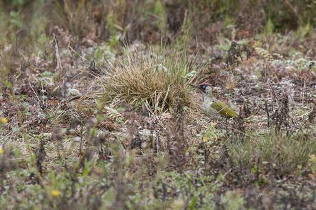 Green in the grass - Green Woodpecker