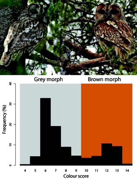Less snow from climate change pushes evolution of browner birds