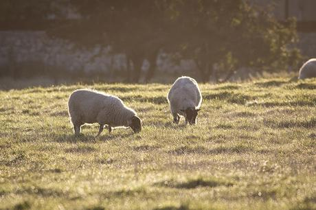 Back lit sheep around Manor Farm